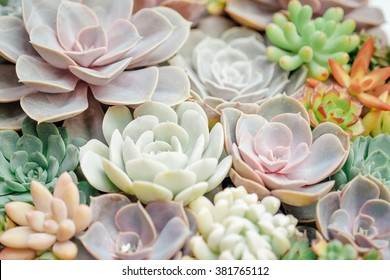 Echeveria The Rise of The Succulent Plants