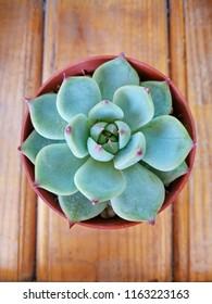 Echeveria Stone Rose. Echeveria chihuahuensis. Close-up of the colorful natural Echeveria rosette. Flat lay.