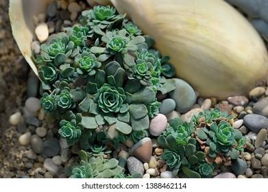Echeveria Succulent plants in pot in garden nursery cactus farm agriculture. seedlings of succulents in greenhouse. succulent garden plants. beautiful floristry composition soft selective focus