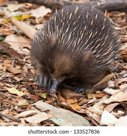 echidna anteater unique to Australia.belong to the family Tachyglossidae in the monotreme order of egg-laying mammals. Wikipedia