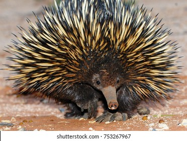 Echidna comming at you!