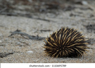 Echidna curled up waiting for safety on the beach in western Australia, April 2018