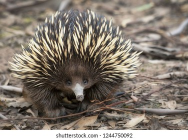 Echidna looking at the camera