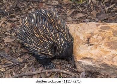 An echidna looking for food