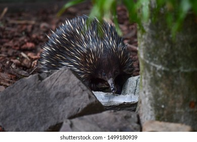 Echidna looking for some water