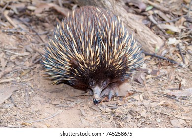 An echidna moving along the ground in the Australian bush