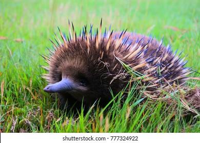 echidna in mt field national park tasmania