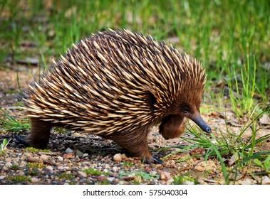 Echidna, native fauna of Australia