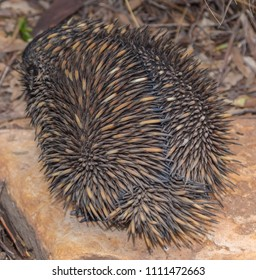 An echidna showing its rear which is full of quills