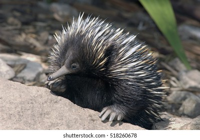 Echidna or spiny anteater