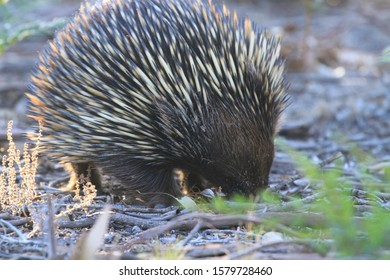 An echidna or spiny anteater foraging for ants in the leafy undergrowth on Raymond Island in Australia.