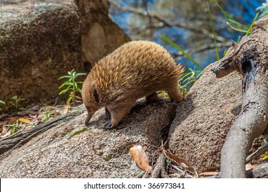 Echidna, Tachyglossus species. It 'a mammal, the Order of Monotreme. Bruny Island in South Bruny National Park, Tasmania, Australia.