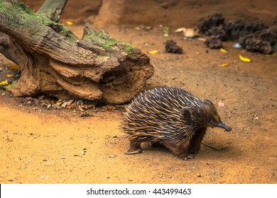 Echidna, Tachyglossus species. It 'a mammal, the Order of Monotreme.  It is located across Australia and New Guinea.