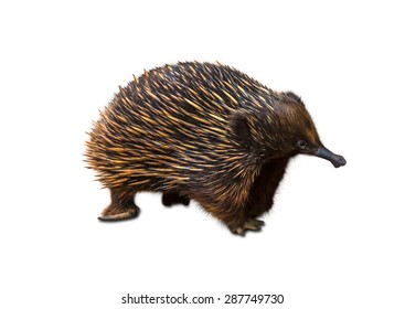 Echidna, Tachyglossus species, isolated on white background. It 'a mammal, the Order of Monotreme,  It is located across Australia and New Guinea.