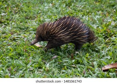 Echidna is walking on a green meadow. Photo taken in Etty Bay Queensland, Australia