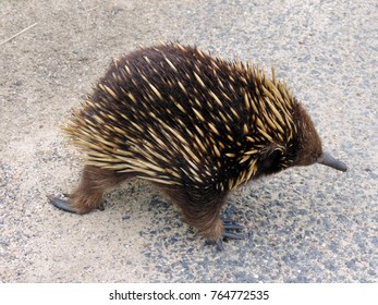 Echidna walking on the road