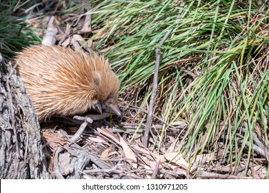 Echidna walking in the woods.