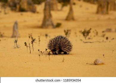 Echidna in Western Australia