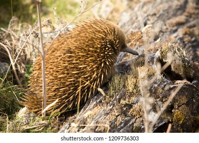 An echidna in the wild of Australia, climbing rocks looking for food