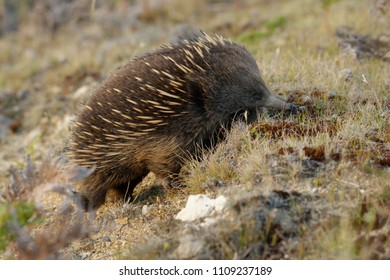 Echidnas sometimes known as spiny anteaters, belong to the family Tachyglossidae in the monotreme order of egg-laying mammals.  short-beaked echidna (Tachyglossus aculeatus)