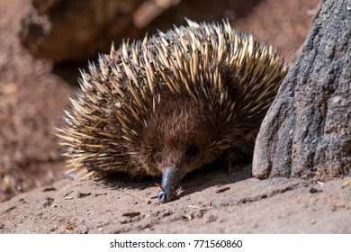 Echidnas or spiny anteaters