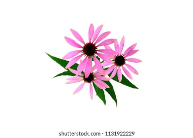 Echinacea (Also Echinacea Purpurea, Tennesseensis, Laevigata, Pallida, Angustifolia). Medicinal Herb Flower Plant. Isolated on white Background.