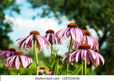 Echinacea astroids Rudbeckia
