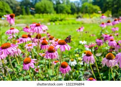 Echinacea in botanical garden