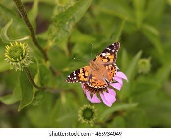 Echinacea and colorful butterfly in the garden