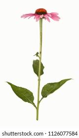 Echinacea, cone flower