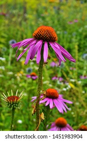 Echinacea is effective in preventing overseas so things like the flu or cold things are popular and echinacea tea.