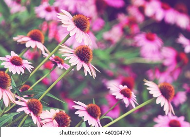 Echinacea field with room for text background