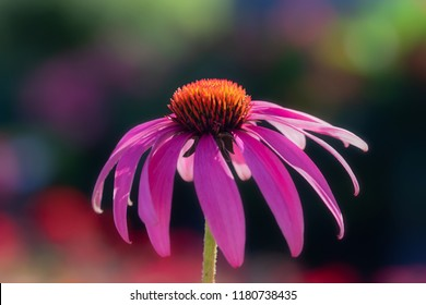 Echinacea flower against soft colorful bokeh background