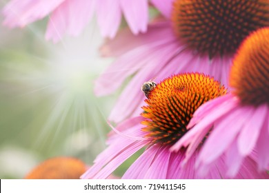Echinacea flower and bee - detail