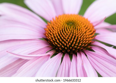 Echinacea flower head with pink petals close-up. Inflorescence of the echinacea purpurea or eastern purple coneflower with spiny center.