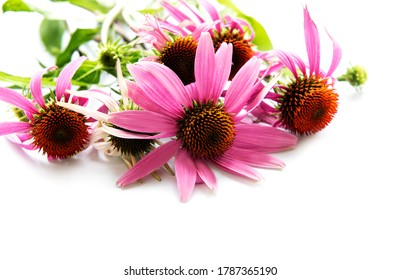 Echinacea flower isolated on a white background