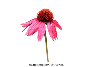 Echinacea flower isolated on a white background using clipping path alternate health concept