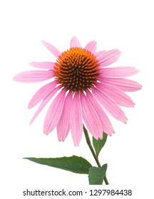Echinacea Flower On White Background