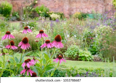 Echinacea Flowers In English Country Walled Garden With Other Plants In Large Mixed Flowerbed In Background
