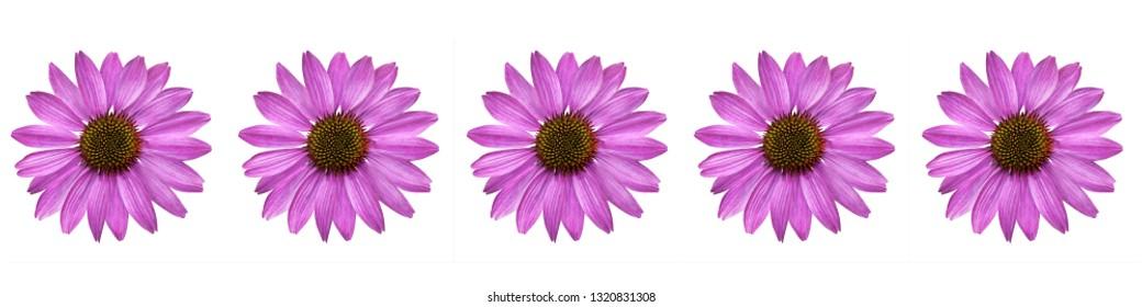 Echinacea flowers isolated against white background