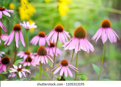 Echinacea flowers (Echinacea purpurea) against green background