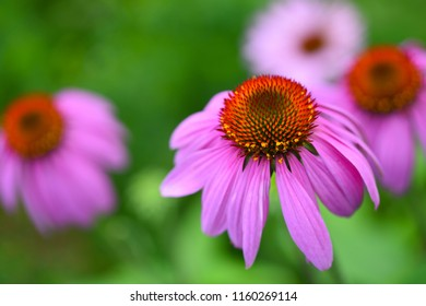 Echinacea flowers (Echinacea purpurea) against green background