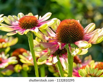 Echinacea flowers. Echinacea purpurea (eastern purple coneflower or purple coneflower) flowers in bloom. Echinacea purpurea is used in folk medicine.