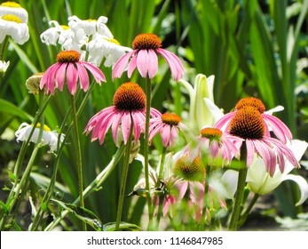 echinacea in the garden