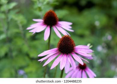 Echinacea in the garden