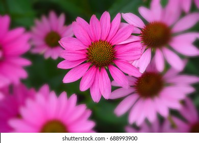 Echinacea is a genus, or group of herbaceous flowering plants in the daisy family. The Echinacea genus has nine species, which are commonly called purple coneflowers.