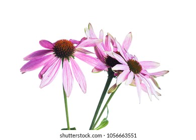 Echinacea isolated on white background