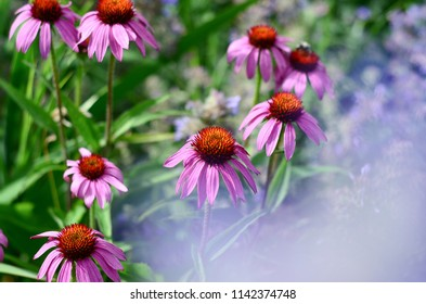 Echinacea and Lavender flowers