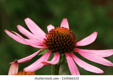 Echinacea n country home rustic ecological garden by sunny day