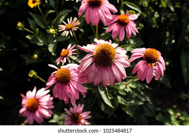 Echinacea on a Sunny Day
